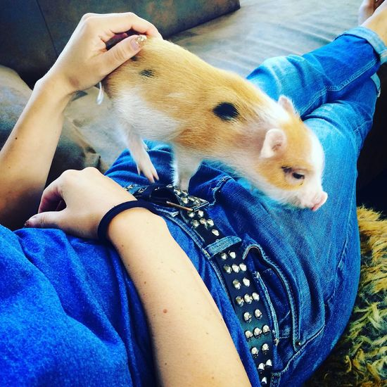 Minipig Hanging Out Relaxing Couching Pet Apartment