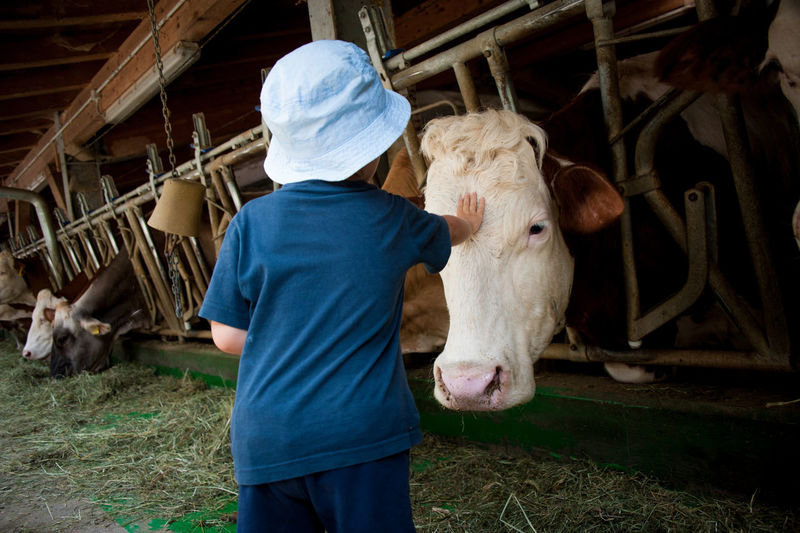 Rear View Of Boy Touching Cow Standing In Barn