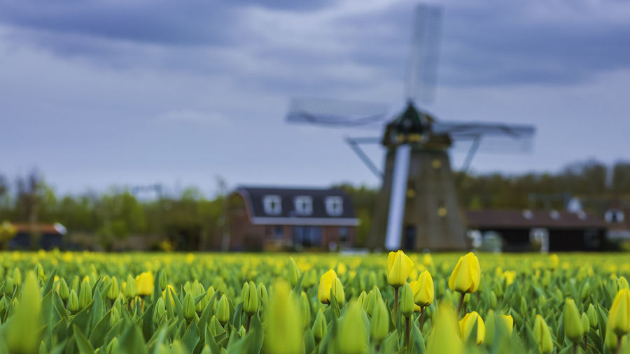 Yellow tulips blooming on field against traditional windmill