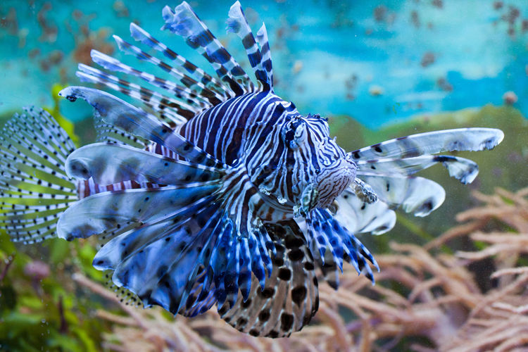 Lionfish Flower Flower Head Outdoors UnderSea Focus On Foreground Fish Animals In Captivity Plant Swimming Selective Focus Marine Water Sea No People Beauty In Nature Sea Life Nature Close-up Underwater Animal Themes Animals In The Wild Animal Animal Wildlife
