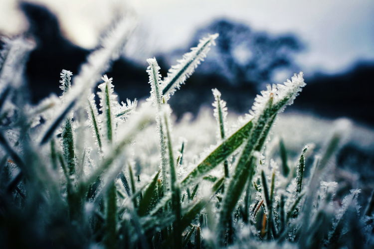 Close-up of frost grass Winter Cold Temperature Snow Close-up Plant Frozen Frost