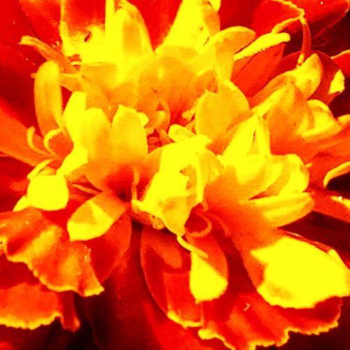 Candy Corn Marigold Flowers,Plants & Garden Flowers Flowerpower EyeEm Flower Flower Collection Flower Popular IPhoneography