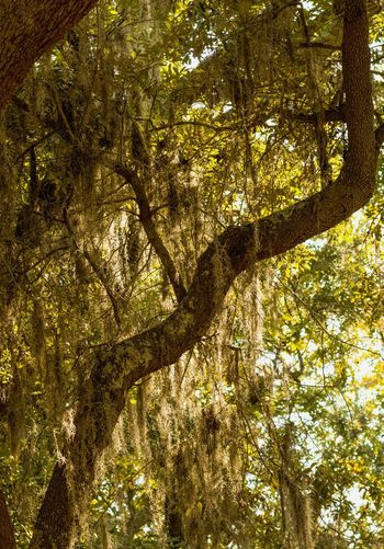 spanish moss on oak Backgrounds Beauty In Nature Branch Close-up Freshness Garden Garden Photography Landscape Landscape Photography Low Angle View Nature Oak Tree Spanish Moss Tadaa Community Tree