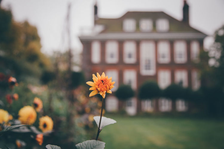 Dahlia bud in the garden at Fenton House in Hampstead. Architecture Beauty In Nature Blooming Building Exterior Day Flower Flower Head Focus On Foreground Fragility Freshness Nature No People Outdoors Plant