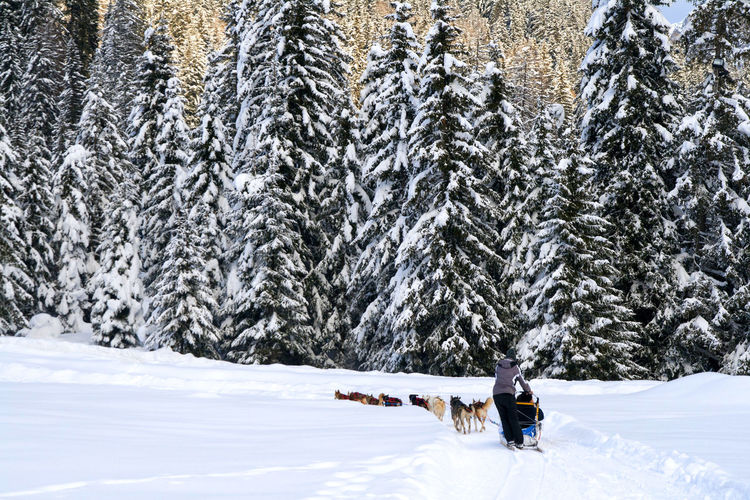 Sled dog in motion on snow covered landscape