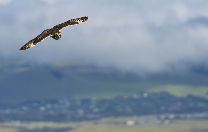 Pueo the Hawaii short eared owl One Animal Animal Themes Animals In The Wild Bird Animal Wildlife Flying Bird Of Prey Day Nature Spread Wings Sky Outdoors Motion Mountain Cloud - Sky No People Owl Hawaii