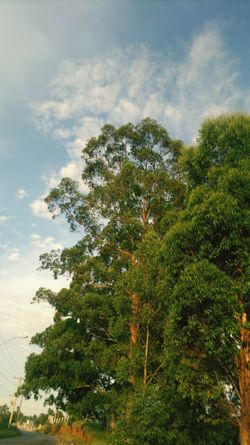 Tree Sky Low Angle View Growth Cloud - Sky Scenics Tranquil Scene Tranquility Beauty In Nature Nature Cloud Green Color Day Green Branch Non-urban Scene Outdoors No People Lush Foliage