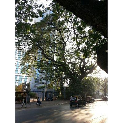 Gnarly tree throwing shadows Instameethajiali Instameethajialicontest Wwim8 Mumbai_igers mumbai_instagrammers