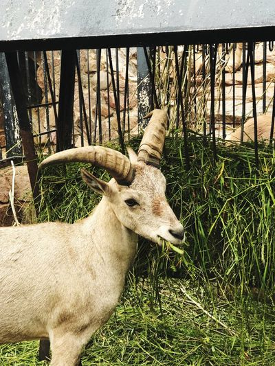 Goat Russia Russia2018 Moscow Animal Animal Themes Boundary Mammal Barrier Fence One Animal Plant No People Nature Day Vertebrate Animal Wildlife Animals In The Wild Outdoors Grass Zoo Animals In Captivity Herbivorous Domestic Animals