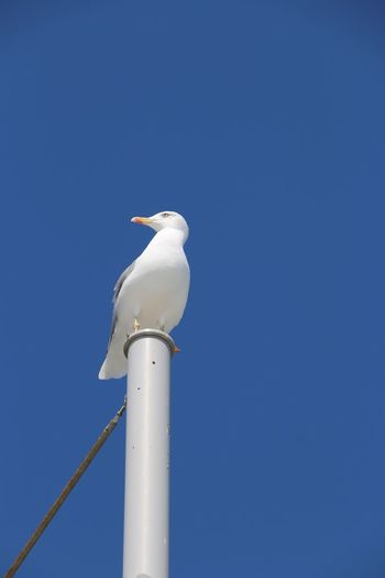 Blue Sky Blue Seagull In Focus Seagulls In The City Seagulls Saint Raphael (var 83) Sea Life EyeEm Selects Blue Bird Sky Clear Sky Low Angle View Perching Animal Themes Animal Nature One Animal