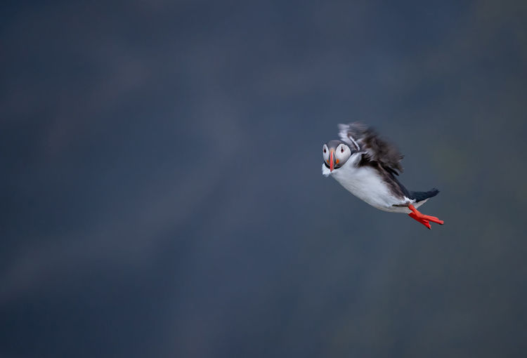 Cute Atlantic Puffin in Flight - ratercula arctica in Borgarfjordur eystri ,Iceland. Animal Wildlife Animals In The Wild Bird Flying