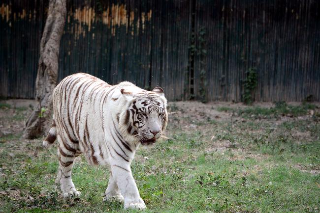 White Tiger Wildlife Photography Tiger Wild Tiger Love Tiger Pride Animal Animal Photography Animalphotography Animals In Captivity EyeEm Eyeemphotography Eyeem Animal