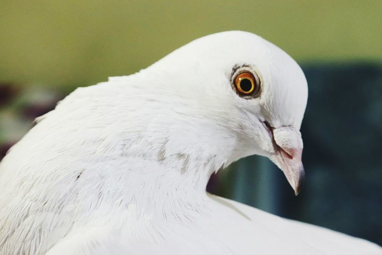 Close-up of a white pegion
