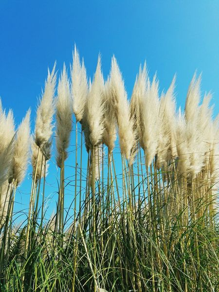 Growth Nature Day Sky No People Clear Sky Outdoors Plant Blue Season  Autuman Japan Close-up Pampas Grass Environment
