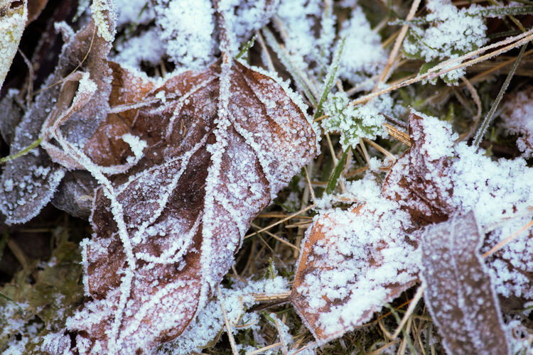 Close-up of frozen dry leaves during winter