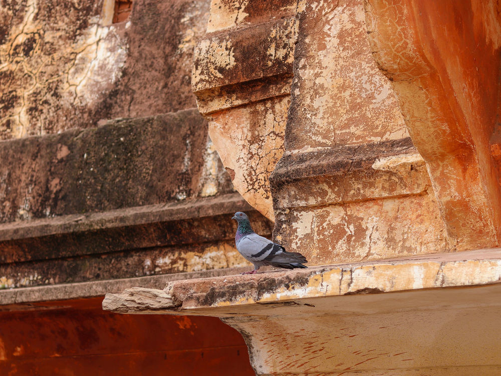 Jaipur Rajasthan Jaigarh Fort Pigeon Old Wall Texture Pinkcity Walls Rusty No People Old Weathered Wall - Building Feature Textured  Nature Getty Images EyeEmBestPics EyeEm Best Shots Canonphotography Canonindia Heritage Building Heritage Sites Caught In The Moment Bird Photography EyeEm Selects
