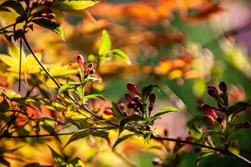 Beauty In Nature Close-up Day Flower Flowering Plant Focus On Foreground Fragility Freshness Green Color Growth Leaf Nature No People Outdoors Plant Plant Part Selective Focus Sunlight Vulnerability  Weigela Yellow