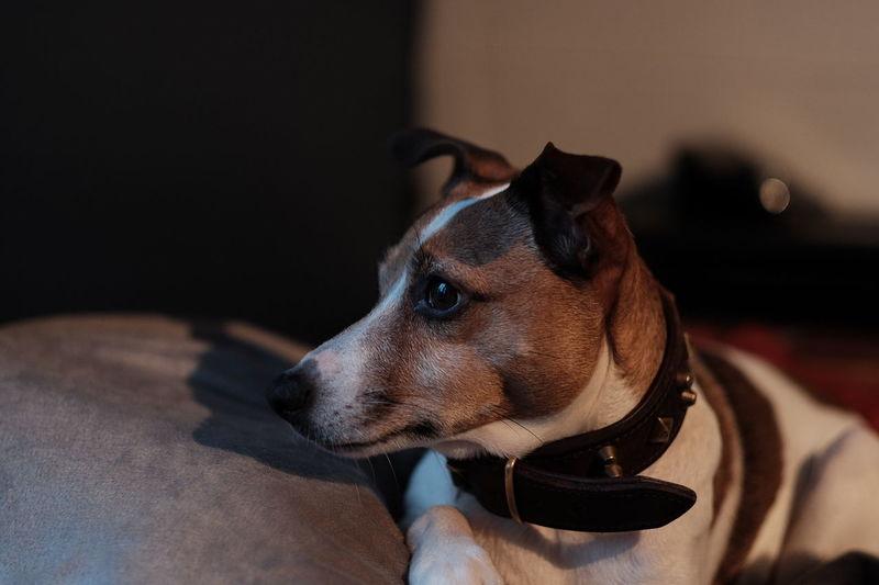 Dog Pet Hund Husdjur Cute Cute Pets Farmdog Dansk-Svensk Gårdshund FUJIFILM X-T1 Kungshamn