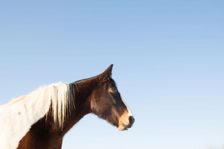 Horse standing against clear blue sky