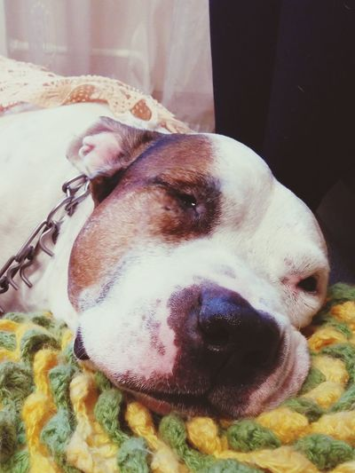 Pitbull Love Pitbull Pitbullsofinstagram Dog Dogslife