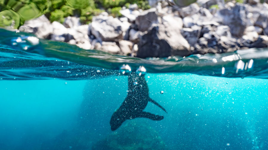 A silhouette of a sea lion dives under in the blue waters of Darwin Island Beauty In Nature Blue Close-up Colorful Day Diving Focus On Foreground Natural Pattern Nature No People Outdoors Sea Life Selective Focus Tranquility Under Over Photo UnderSea Underwater Water