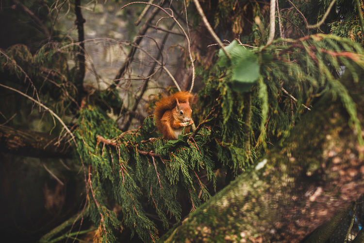 Portrait of squirrel in a forest