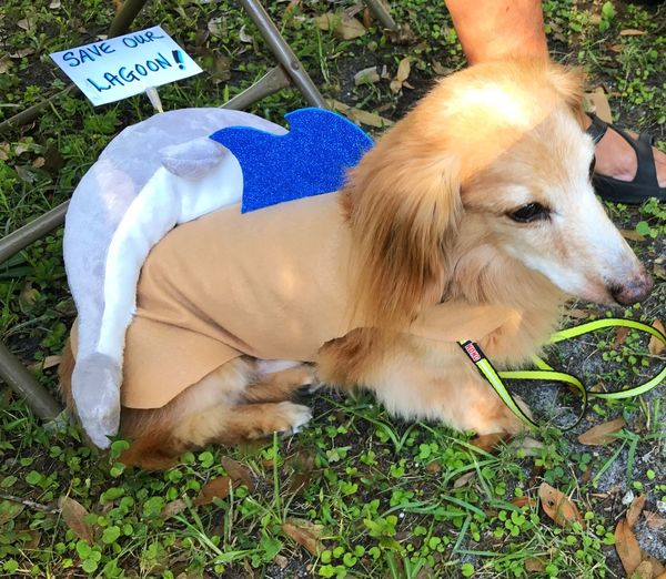 Here's Jack Waiting His Turn to be in the Dog Pawrade Kathy made his Dog Costume of an Environmental Activist he was A Big Hit