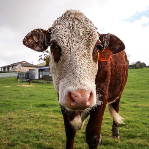 Friendnotfood Farming EyeEm Selects Portrait Rural Scene Farmhouse Looking At Camera Agriculture Cow Grazing Field Cattle Farm Livestock Tag Dairy Farm Farm Animal Bull - Animal Paddock Livestock