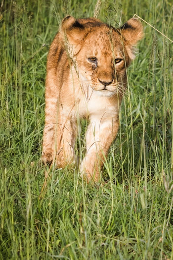 Lion cub in the