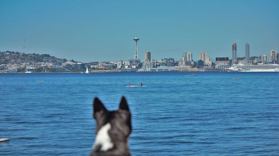Boston Terrier City City Dog Dog Pacificnorthwest Pnwlife Puget Sound Seattle Dog Space Needle Space Needle Center Upperleftusa Waterfront