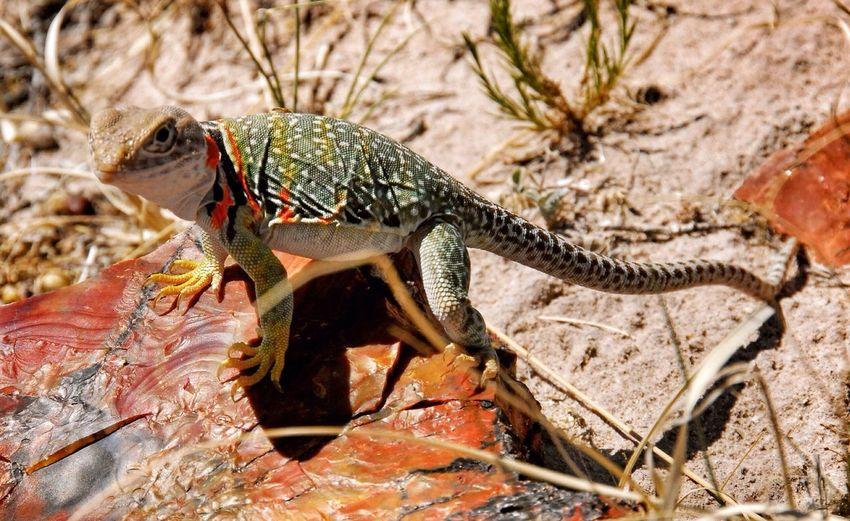 Lizzards...... Lizzard Petrifiedforest Nature_collection Nature