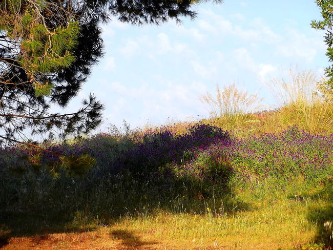 Agrigento Alberi Beauty In Nature Campi Cielo Azzurro Fiori Freshness Growth Low Angle View Nature No People Nuvole Outdoors Scenics Sicily Tramonto Tranquility Tree Vegetazione