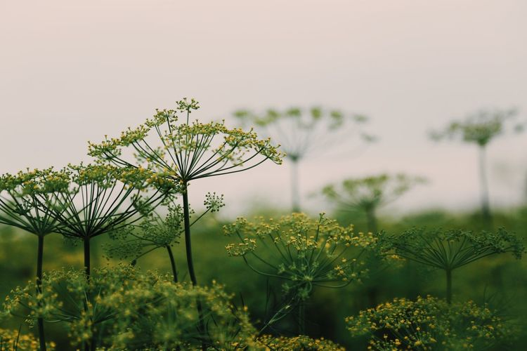 Eatable Flowers Flora Selective Focus Full Frame Botany Dill Flowers Botanical Stem Stems Botanic Full Frame Close-up Dill Flora Plant Growth Beauty In Nature Nature Flower Flowering Plant Freshness No People Outdoors Field Green Color Day Focus On Foreground Land Tranquil Scene Tranquility