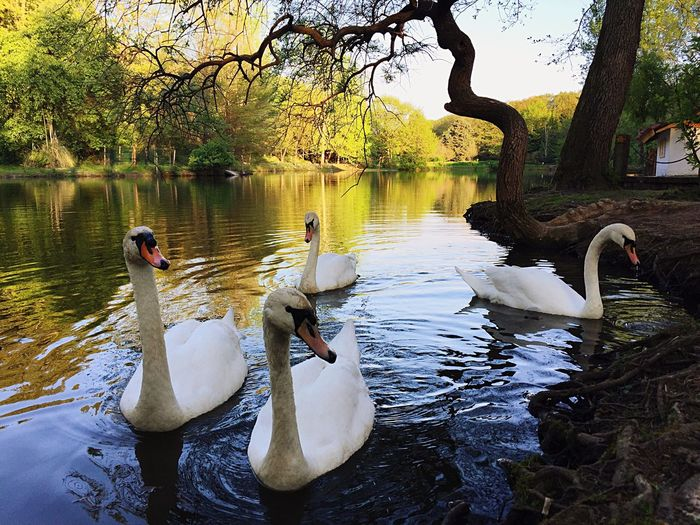 White Swan Natural Beauty Iphonephotography Iphone6