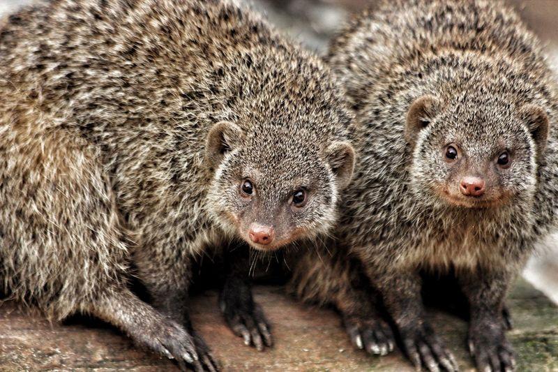 Portrait Of Mongoose On Log