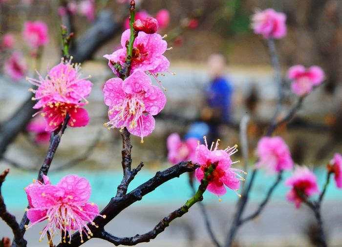 Flower Pink Color Nature Beauty In Nature Close-up Outdoors Springtime Red Prumusmume Red Apricot Blossoms Raindrops