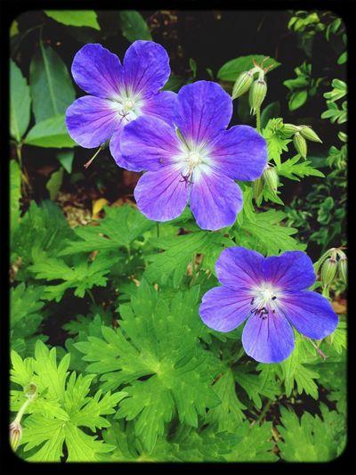 EyeEm Flower Geraniums Macrolique Love