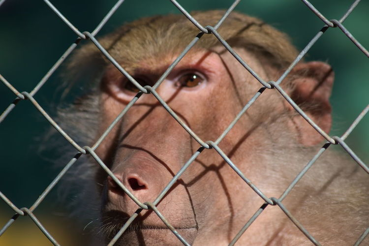Close-Up Of Monkey By Fence