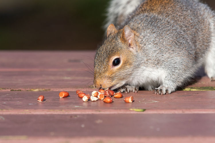 Portrait of a grey squirrel eating nuts off of a picnic table.