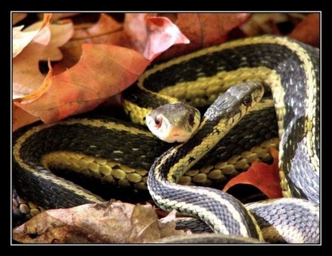 Animal Themes Brown Snake Close-up Couples Fall Colors Outdoors Protected Snakes Snakes