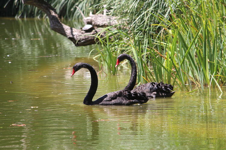 Reflection Animal Wildlife Animals In The Wild Water River Animal Themes No People Outdoors Day Swimming Nature Lake Garden Swans Black Swans Gardens Black Animal Animals Black Swan Bird Pet Portraits