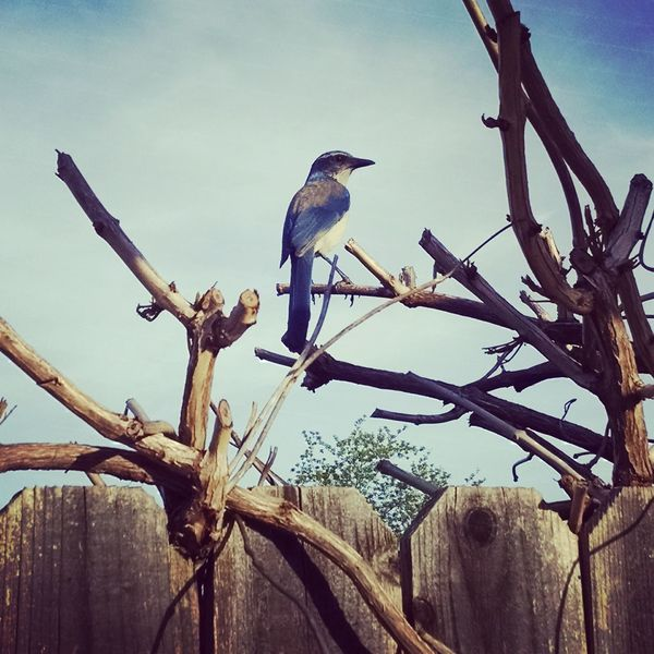 I am completely honored that you let me get so close. Bird Animal Wildlife Perching Animals In The Wild Animal Themes Branch Tree No People One Animal Nature Day Outdoors Bare Tree Sky Scrubjay