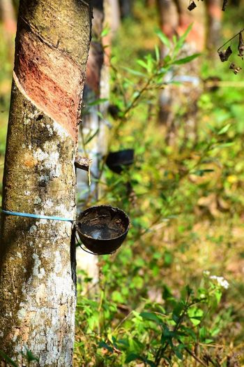 Rubber Plantation Trees Nature Forest Photography Beauty In Nature Wallpaper Tree Tree Trunk Forest Branch Hanging Close-up Plant