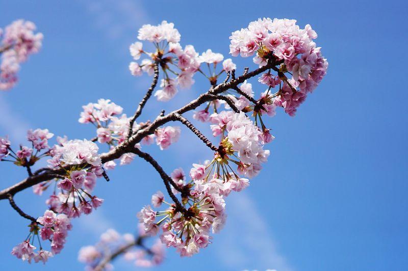 Sakura Osaka,Japan Flowering Plant Flower Plant Fragility Vulnerability  Freshness Beauty In Nature