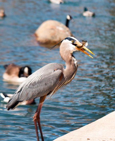 Gray heron eating fish while perching at lakeshore