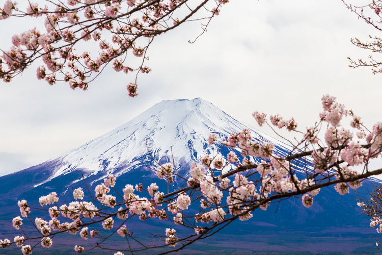 Cherry blossoms on snow covered mountains against sky