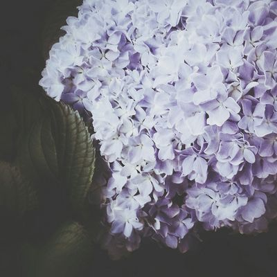 Hydrangea Flower Flowering Bushes Dark Soft Check This Out EyeEm Best Shots Eye4photography  Floral Nature