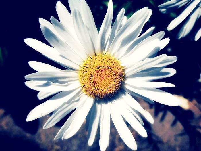 Daisy Daisy Flower Daisy 🌼 EyeEm Selects EyeEm Best Shots Daisy Flower Head Flower Passion Flower Petal Pollen Close-up Plant Blooming Blossom In Bloom
