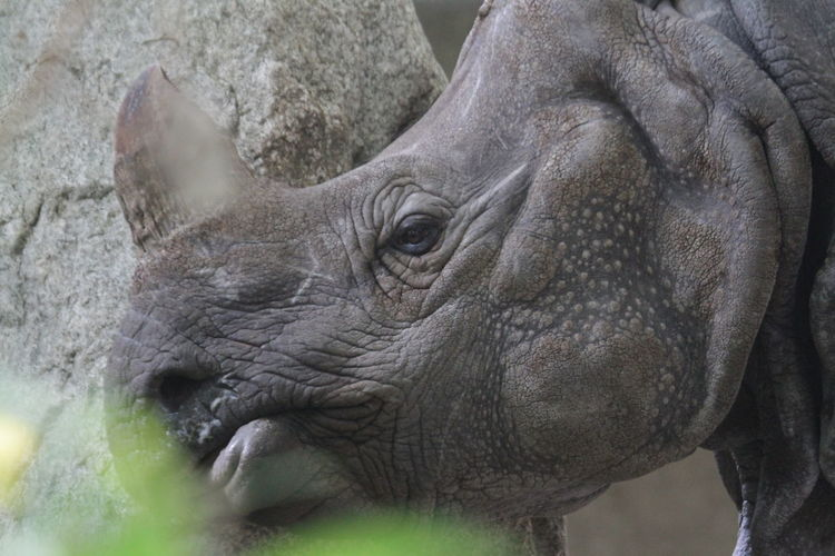 Animal Themes Animals In The Wild Close-up Mammal One Animal Outdoors Rhino Rhino Head Rhinoceros
