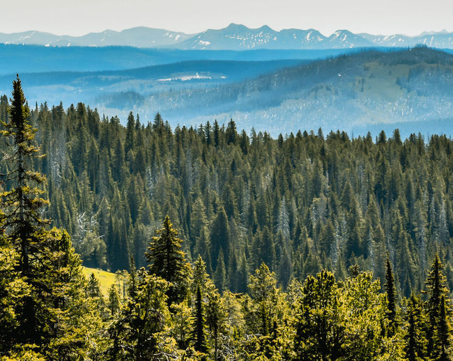Wyoming, USA forest with mountains in background. Mountain Plant Tree Beauty In Nature Scenics - Nature Tranquil Scene Tranquility Growth Non-urban Scene No People Nature Landscape Land Forest Mountain Range Day Environment Sky Idyllic Green Color Outdoors Pine Tree Coniferous Tree Mountain Peak Wyoming USA Wyoming Landscape Green Color Tree Tranquility Travel Destinations Yellow Branch Peak Tetons Outdoor Photography Blue Simplicity Summer Roadtrip Bunch Of Trees Warmth Plant Botany Agriculture Hill View View From Above View Into Land